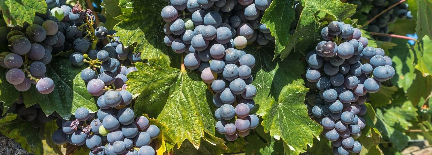 Grapes, Rioja